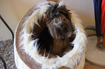 Yorkshire terrier Tosia