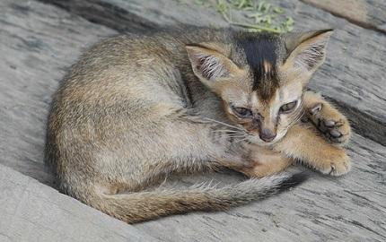 Kot birmański - źródło obrazka Pixabay.com