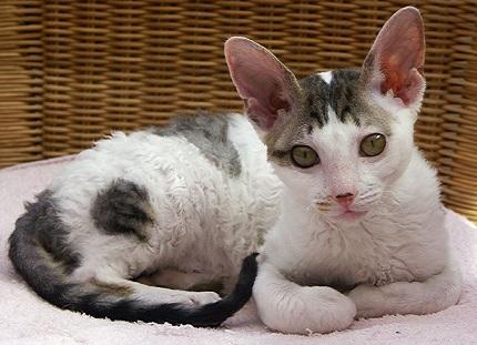 Kot cornish rex - źródło obrazka Wikipedia.org