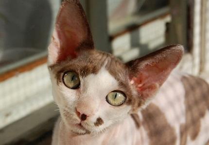 Kot devon rex - źródło obrazka Wikipedia.org