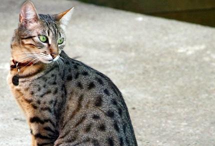Kot egipski mau - źródło obrazka Wikipedia.org