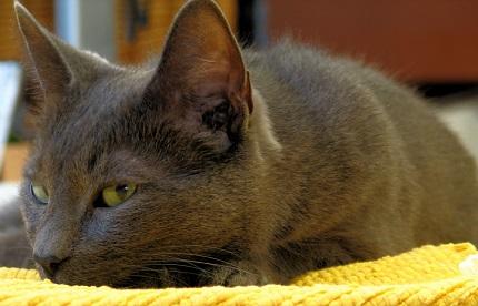 Kot korat - źródło obrazka Wikipedia.org