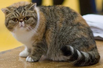 Kot egzotyczny - źródło obrazka Wikipedia.org