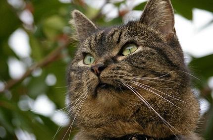 Kot europejski - źródło obrazka Pixabay.com