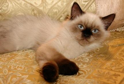 Kot himalajski - źródło obrazka Petandu.com