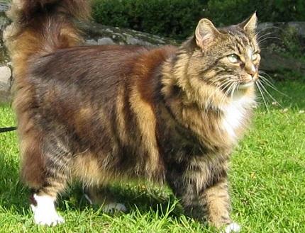 Kot norweski - źródło obrazka Wikipedia.org