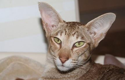 Kot orientalny - źródło obrazka Pixabay.com