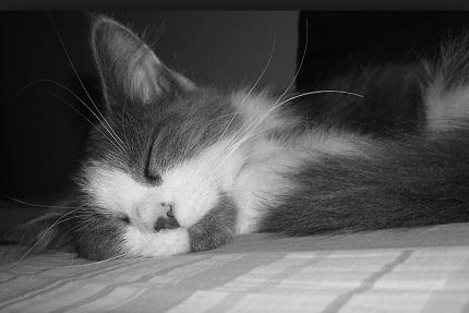 Kot perski - źródło obrazka Pixabay.com