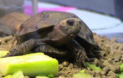 Żółw brunatny - źródło obrazka Wikipedia.org