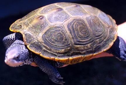 Żółw diamentowy - źródło zdjęcia Wikipedia.org