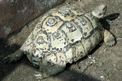 Żółw lamparci - zdjęcie ze strony Wikipedia.org