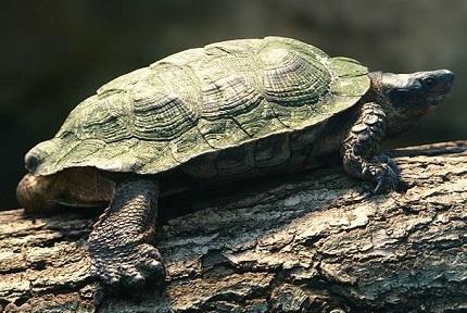 Żółw leśny - źródło obrazka Wikipedia.org