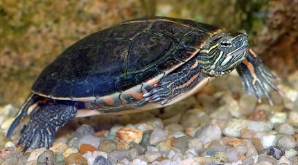Żółw malowany - źródło zdjęcia Wikipedia.org