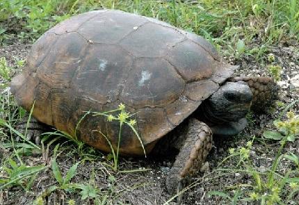 Żółw norowy - źródło obrazka Wikipedia.org