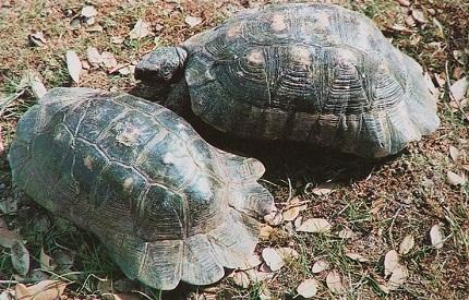 Żółw obrzeżony - źródło obrazka Wikipedia.org