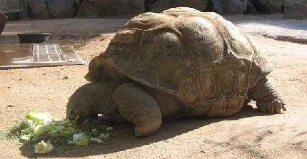 Żółw olbrzymi - źródło obrazka Pixabay.com
