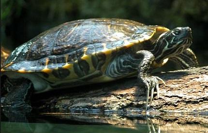 Żółw ozdobny - źródło obrazka Wikipedia.org