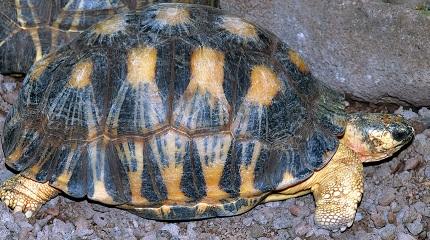 Żółw promienisty - źródło zdjęcia Wikipedia.org