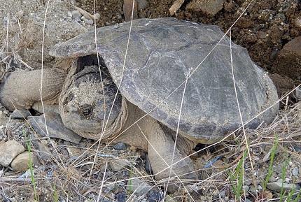 Żółw sępi - źródło obrazka Pixabay.com