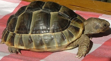 Żółw śródziemnomorski - źródło obrazka Wikipedia.org