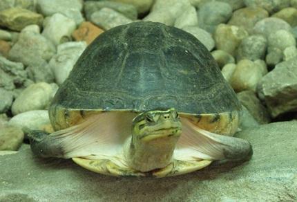 Żółw sundajski - źródło obrazka Wikipedia.org