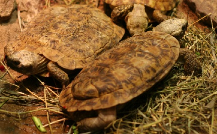 Żółw Torniera - źródło obrazka Wikipedia.org