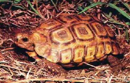 Żółw zawiasowy - źródło obrazka Wikipedia.org