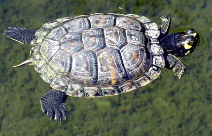 Żółw żółtobrzuchy - źródło obrazka Wikipedia.org