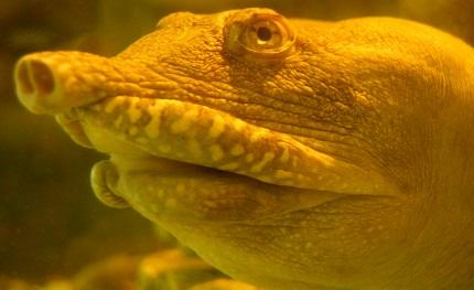 Żółwiak chiński - źródło obrazka Wikipedia.org