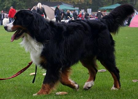 Berneński pies pasterski - źródło obrazka Wikipedia.org