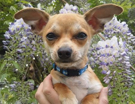 Chihuahua - źródło obrazka Wikipedia.org