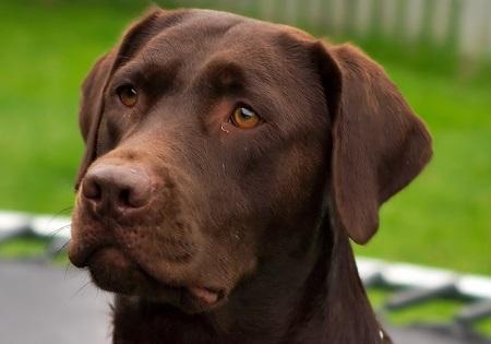 Labrador - źródło obrazka Wikipedia.org