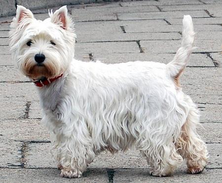 West terrier - źródło obrazka Wikipedia.org