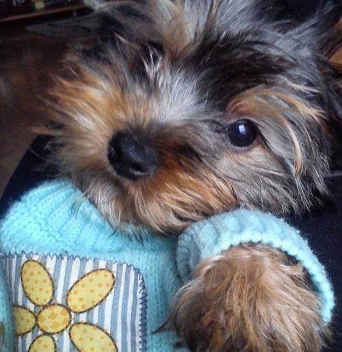 yorkshire terrier bafi