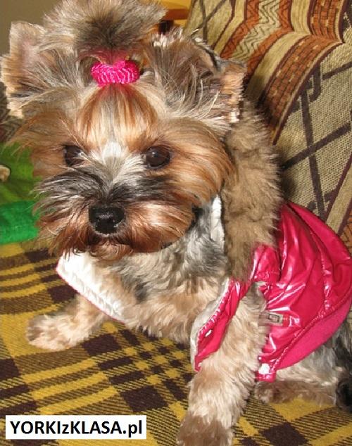 yorkshire terrier roxy