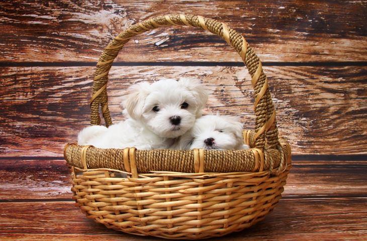 psy, rasy psów, zwierzęta domowe, psiaki, zwierzaki,