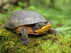 żółw żółtolicy